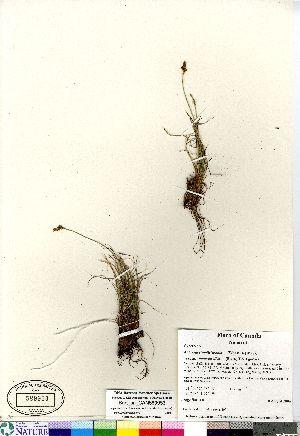 (Kobresia - Burt_sn_CAN589953)  @11 [ ] Copyright (2011) Canadian Museum of Nature Canadian Museum of Nature
