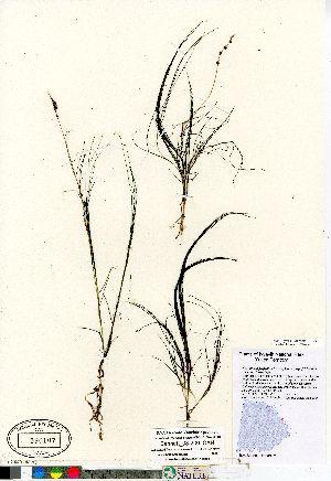 (Stuckenia filiformis ssp filiformis - Bennett_08-200_CAN)  @11 [ ] Copyright (2011) Canadian Museum of Nature Canadian Museum of Nature