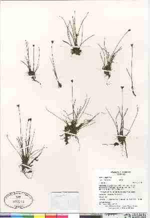 (Juncus triglumis ssp albescens - Gillespie_et_al_8440)  @11 [ ] Copyright (2009) Canadian Museum of Nature Unspecified