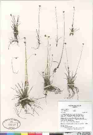 (Juncus triglumis ssp albescens - Gillespie_et_al_7788)  @11 [ ] Copyright (2009) Canadian Museum of Nature Unspecified