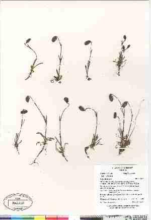 (Silene uralensis ssp uralensis - Gillespie_et_al_7716)  @11 [ ] Copyright (2009) Canadian Museum of Nature Unspecified