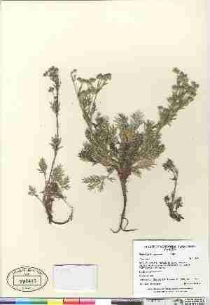 (Potentilla bimundorum - Gillespie_et_al_7440)  @11 [ ] Copyright (2009) Canadian Museum of Nature Unspecified
