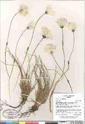 (Eriophorum vaginatum - Gillespie_et_al_7949)  @11 [ ] Copyright (2009) Canadian Museum of Nature Unspecified