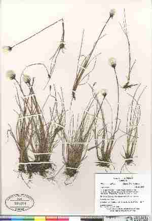 (Eriophorum callitrix - Gillespie_et_al_8247)  @11 [ ] Copyright (2009) Canadian Museum of Nature Unspecified