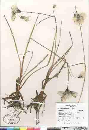 (Eriophorum angustifolium - Gillespie_et_al_8406)  @11 [ ] Copyright (2009) Canadian Museum of Nature Unspecified