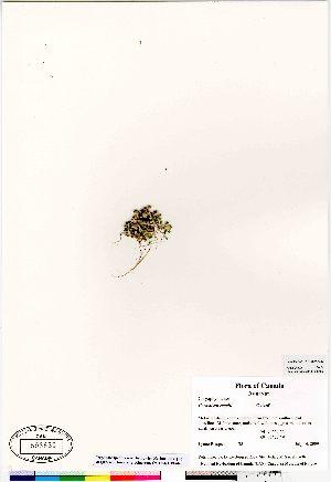 (Cerastium regelii - Bosquet_35)  @11 [ ] Copyright (2009) Canadian Museum of Nature Unspecified
