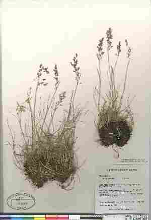 (Poa pratensis ssp alpigena - Gillespie_6612)  @11 [ ] Copyright (2010) Canadian Museum of Nature Canadian Museum of Nature