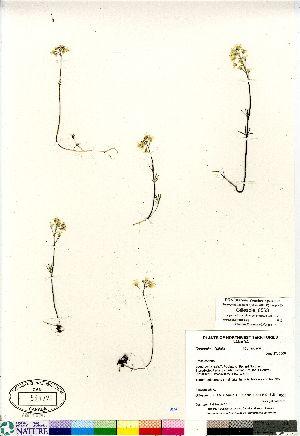 (Cardamine digitata - Gillespie_8553)  @11 [ ] Copyright (2011) Canadian Museum of Nature Canadian Museum of Nature