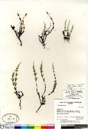 (Equisetum arvense ssp alpestre - Gillespie_8581)  @11 [ ] Copyright (2011) Canadian Museum of Nature Canadian Museum of Nature