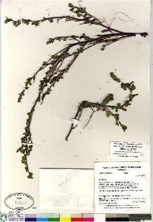 (Betula glandulosa - Gillespie_8722)  @11 [ ] Copyright (2011) Canadian Museum of Nature Canadian Museum of Nature