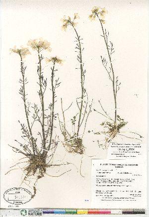 (Cardamine pratensis - Gillespie_8964)  @11 [ ] Copyright (2011) Canadian Museum of Nature Canadian Museum of Nature