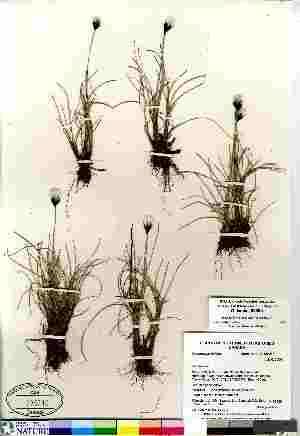 (Eriophorum callitrix - Gillespie_8806b)  @11 [ ] Copyright (2011) Canadian Museum of Nature Canadian Museum of Nature