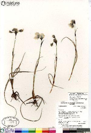 (Eriophorum triste - Gillespie_8827)  @11 [ ] Copyright (2012) Canadian Museum of Nature Canadian Museum of Nature