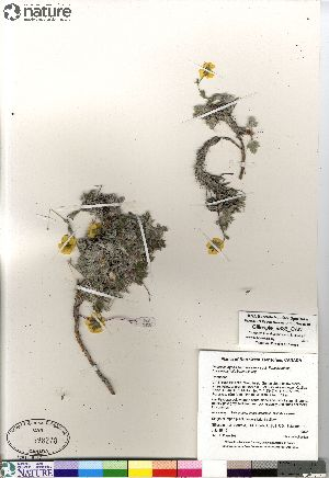 (Potentilla hybrid sect. Niveae x Pensylvanicae nivea x pulchella x subvahliana - Gillespie_9836_CAN)  @11 [ ] Copyright (2012) Canadian Museum of Nature Canadian Museum of Nature