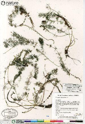 (Myriophyllum sibiricum - Saarela_1512_CAN)  @11 [ ] Copyright (2012) Canadian Museum of Nature Canadian Museum of Nature