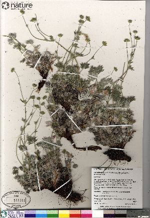 (Potentilla hybrid sect. Niveae x Pensylvanicae nivea x pulchella - Gillespie_9987_CAN)  @11 [ ] Copyright (2012) Canadian Museum of Nature Canadian Museum of Nature