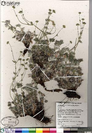 (Potentilla hybrid sect. Niveae x Pensylvanicae nivea x pulchella - Gillespie_9987_CAN)  @11 [ ] Copyright (2012) Canadian Museum of Nature Canadian Museum of Nature