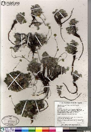 (Potentilla hybrid sect. Niveae x Pensylvanicae pulchella x nivea - Gillespie_9715_CAN)  @11 [ ] Copyright (2012) Canadian Museum of Nature Canadian Museum of Nature