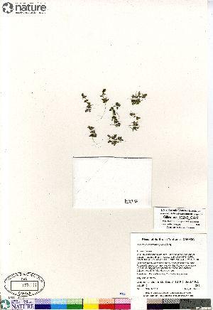 (Suaeda calceoliformis - Gillespie_10243_CAN)  @11 [ ] Copyright (2012) Canadian Museum of Nature Canadian Museum of Nature