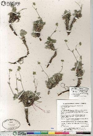 (Potentilla hybrid sect. Niveae x Pensylvanicae arenosa x pulchella - Gillespie_10082_CAN)  @11 [ ] Copyright (2012) Canadian Museum of Nature Canadian Museum of Nature