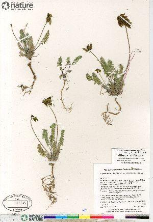 (Oxytropis deflexa ssp foliolosa - Gillespie_10129_CAN)  @11 [ ] Copyright (2012) Canadian Museum of Nature Canadian Museum of Nature