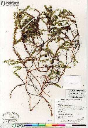 ( - Saarela_1518_CAN)  @11 [ ] Copyright (2012) Canadian Museum of Nature Canadian Museum of Nature