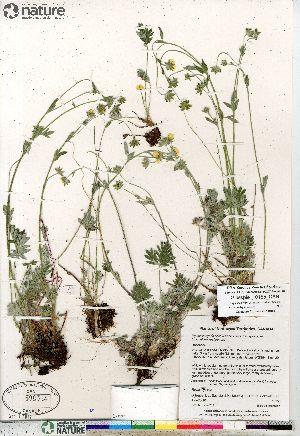 (Potentilla hybrid sect. Niveae x Pensylvanicae pulchella x nivea x arenosa - Gillespie_10155_CAN)  @11 [ ] Copyright (2012) Canadian Museum of Nature Canadian Museum of Nature