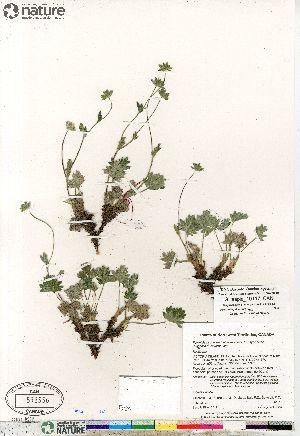 (Potentilla hybrid sect. Niveae x Pensylvanicae pulchella x nivea x arenosa - Gillespie_10117_CAN)  @11 [ ] Copyright (2012) Canadian Museum of Nature Canadian Museum of Nature