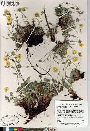 (Potentilla hybrid sect. Niveae x Pensylvanicae pulchella x subvahliana - Saarela_1424_CAN)  @11 [ ] Copyright (2012) Canadian Museum of Nature Canadian Museum of Nature