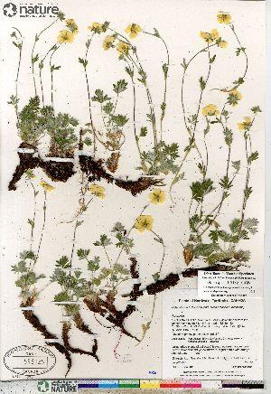(Potentilla sect. Niveae hybrid (nivea arenosa subvahliana - Gillespie_10072_CAN)  @11 [ ] Copyright (2012) Canadian Museum of Nature Canadian Museum of Nature