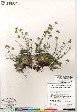 (Potentilla sect. Niveae hybrid (arenosa nivea subvahliana - Gillespie_10126_CAN)  @11 [ ] Copyright (2012) Canadian Museum of Nature Canadian Museum of Nature