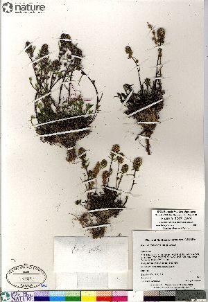 (Artemisia borealis - Saarela_1507_CAN)  @13 [ ] Copyright (2012) Canadian Museum of Nature Canadian Museum of Nature