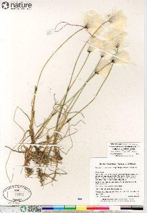 (Eriophorum scheuchzeri - Gillespie_9857_CAN)  @11 [ ] Copyright (2012) Canadian Museum of Nature Canadian Museum of Nature