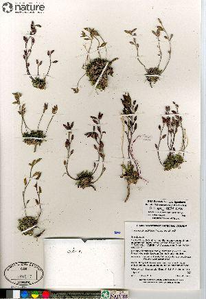 (Braya - Gillespie_10074_CAN)  @11 [ ] Copyright (2012) Canadian Museum of Nature Canadian Museum of Nature