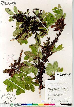 (Arctous - Saarela_1517_CAN)  @11 [ ] Copyright (2012) Canadian Museum of Nature Canadian Museum of Nature