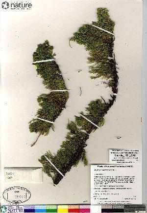 (Juniperus horizontalis - Saarela_1561_CAN)  @11 [ ] Copyright (2012) Canadian Museum of Nature Canadian Museum of Nature