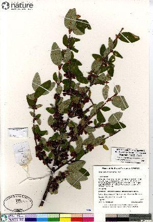 (Elaeagnaceae - Saarela_1515_CAN)  @11 [ ] Copyright (2012) Canadian Museum of Nature Canadian Museum of Nature