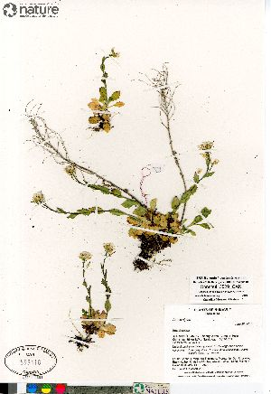 (Arabis alpina - Consaul_3529_CAN)  @11 [ ] Copyright (2012) Canadian Museum of Nature Canadian Museum of Nature