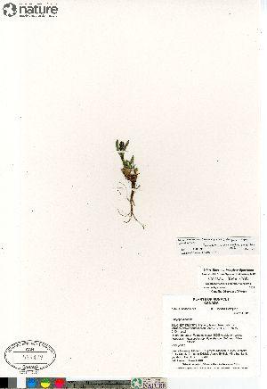 (Silene involucrata ssp involucrata - Consaul_3549_CAN)  @11 [ ] Copyright (2012) Canadian Museum of Nature Canadian Museum of Nature