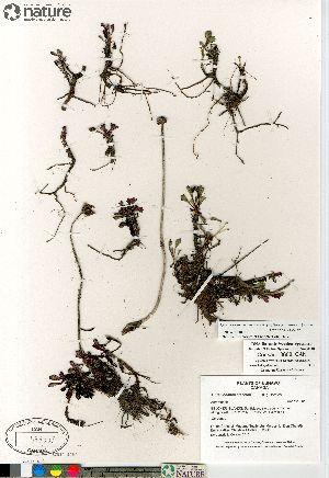 (Arctanthemum - Consaul_3608_CAN)  @13 [ ] Copyright (2012) Canadian Museum of Nature Canadian Museum of Nature