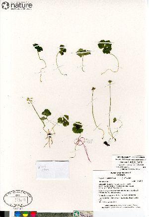 (Coptidium - Consaul_4021_CAN)  @11 [ ] Copyright (2012) Canadian Museum of Nature Canadian Museum of Nature