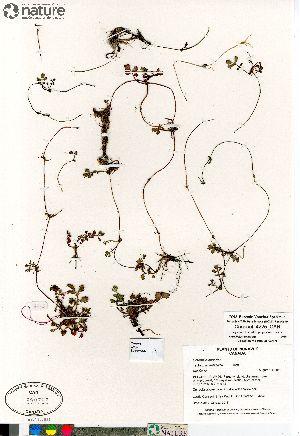 (Potentilla anserina ssp egedii - Consaul_4225_CAN)  @11 [ ] Copyright (2012) Canadian Museum of Nature Canadian Museum of Nature