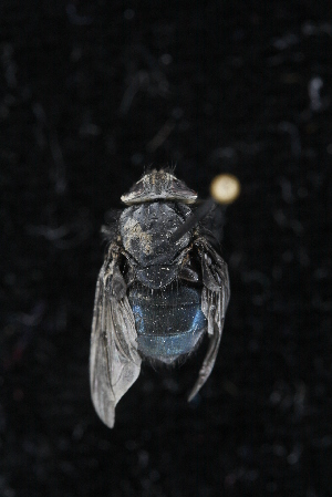 (Calliphora nigribasis - QCAZI_212298)  @11 [ ] Unspecified (default): All Rights Reserved (2016) Mariela Domínguez PUCE