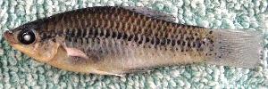 (Poecilia latipunctata - PTR100)  @12 [ ] Copyright (2010) Eduardo Soto Galera 2009 Unspecified