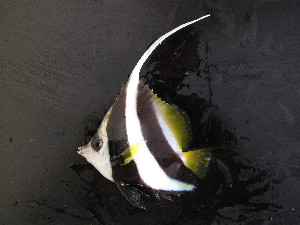 (Heniochus acuminatus - CIFE-KRL-HA1)  @15 [ ] Copyright (2013) Dhaval C. Bamaniya Central Institute of Fisheries Education