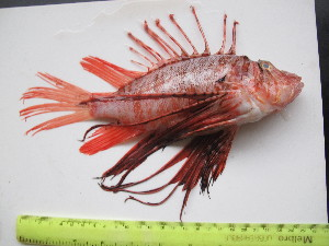 (Pterois russelii - CIFE-KRL-PR1)  @15 [ ] Copyright (2013) Dhaval C. Bamaniya Central Institute of Fisheries Education