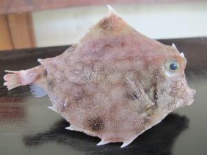 (Tetrosomus - CIFE-KRL-TG3)  @11 [ ] Copyright (2013) Dhaval C. Bamaniya Central Institute of Fisheries Education