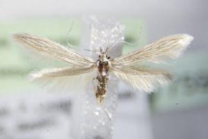 (Coleophora virgatella - BC ZSM Lep 75958)  @14 [ ] Unspecified (default): All Rights Reserved  Unspecified Unspecified