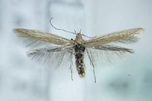 (Coleophora atriplicis - BC ZSM Lep 79515)  @14 [ ] Unspecified (default): All Rights Reserved  Unspecified Unspecified