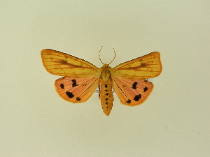(Rhyparioides - BC ZSM Lep 91488)  @11 [ ] by-nc-sa (2016) SNSB, Staatliche Naturwissenschaftliche Sammlungen Bayerns ZSM (SNSB, Zoologische Staatssammlung Muenchen)